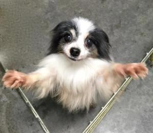 Sweet senior named Jamie who is one of the 46 rescued papillons
